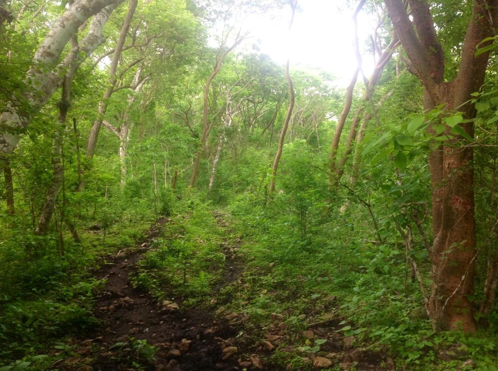 Ensimismada en los árboles me percaté de un detalle que no había observado antes, su follaje es abundante, el tronco y las ramas asemejan una especie de arco que invita a caminar a través de este.