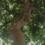 arbol_mulato