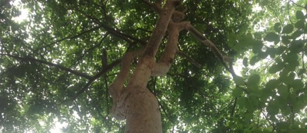 Fue hasta donde estaba el árbol de higo, le agradaba su sombray las historias que cobijaba en sus raíces, historias tristes y también entusiastas, historias familiares y de vida.