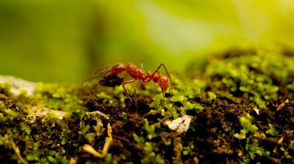 Cierto. Dos temas de mayor interés son: el nombre propio de nuestras hormigas arrieras, y sus múltiples apelativos y mitos; los mitos mesoamericanos asociados a ellas, transmitidos a nosotros hasta la fecha.