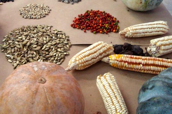 En la Biósfera La Sepultura se promueven esquemas de producción de maíz orgánico, así como el rescate del sistema milpa, en donde se localizan diversas especies de calabaza, chile, chayote, chilacayote, yerbamora, verdolaga, frijol, entre otros. Foto: Cortesía/Chiapas PARALELO