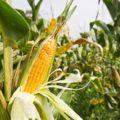 Logran acuerdo gobierno y maiceros para la compra-venta de maíz en Chiapas.