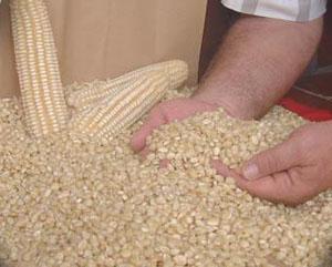 Productores piden se les pague a 5,000 pesos la tonelada de maíz. Foto: Cortesía