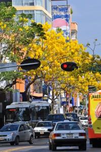 Otro ángulo de los árboles floridos de primavera en el Centro de Tuxtla Gutiérrez, Chiapas. Foto: Arturö Icarus Arias/Chiapas PARALELO
