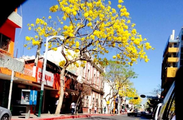 En la Avenida Central de Tuxtla, los árboles de primavera florecen en estos días del año para anunciar precisamente que la primavera esta cerca. Foto: Isaín Mandujano Chiapas PARALELO