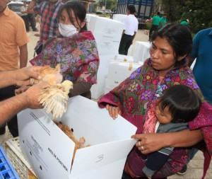 El DIF también entrega pollitos. Foto: Icoso