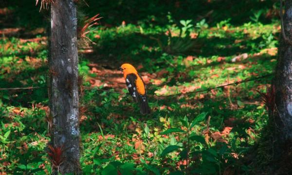 Un ave que habita en los alrededores del campamento de la Reserva de la Biosfera de El Triunfo. Foto: Isaín Mandujano/Chiapas PARALELO