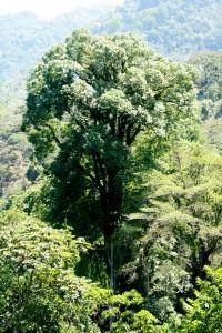 Un inmenso árbol sobresale en el bosque de la  Reserva de la Biósfera El Triunfo. Foto: Isaín Mandujano