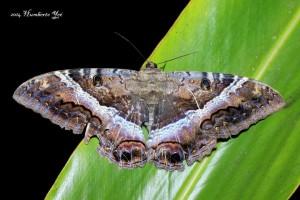 Mariposa nocturna, Ascalapha odorata. Lugar: Isla la Concepción en Acapetahua, Chiapas (REBIEN). Foto: Humberto Yee