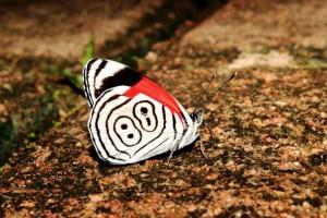 Nombre Científico: Diaethria anna Nombre Común: Mariposa ochenta y ocho. Lugar: Ejido Nuevo Huixtan en Las Margaritas, Chiapas (Selva Lacandona). Foto: Humberto Yee