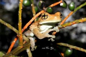 Nombre Científico: Trachycephalus typhonius Nombre Común: rana arborícola lechosa, rana venulosa Lugar: Ejido Ixcan en Ocosingo, Chiapas (Selva Lacandona). Foto: Humberto Yee