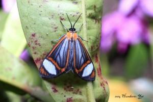 Mariposa nocturna, posiblemente Hyalurga leucophlebia. Lugar: Isla la Concepción en Acapetahua, Chiapas (REBIEN). Foto: Humberto Yee
