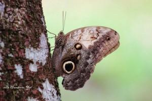 Nombre Científico: Caligo telamonius memnon Nombre Común: Mariposa tecolote Lugar: Ejido Nuevo Huixtan en Las Margaritas, Chiapas (Selva Lacandona). Foto: Humberto Yee