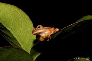 Rana, posiblemente Dendropsophus microcephalus Lugar: Benemérito de las Américas, Chiapas (Selva Lacandona). Foto: Humberto Yee