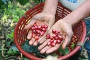 La cafeticultura es una de las principales actividades económicas de Chiapas. Foto: Ángeles Mariscal