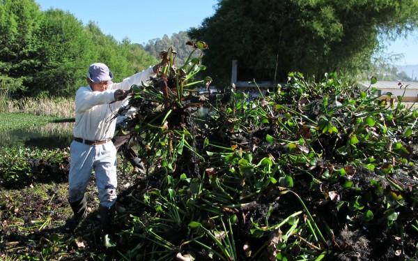 Limpieza de liro en laguna de SCLC. Foto: Emiliano Hernández
