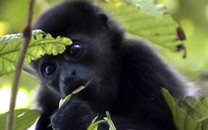 Primates de Chiapas. Foto: CONANP
