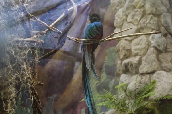 Quetzal donado a Xcaret. Foto: Elizabeth Ruiz