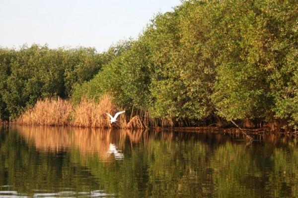 Este bosque que crece entre el agua y la tierra posee  cuatro diferentes especies  de mangle: mangle rojo, mangle blanco, mangle negro y mangle botoncillo. Foto: CONAFOR
