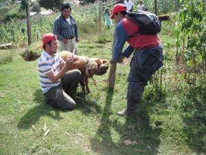 En su labor diaria inspecciona los puercos en las comunidades rurales de Chiapas.