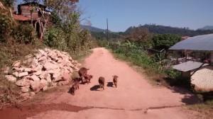 Señala que así andan los puercos en las comunidades rurales de Chiapas, por lo que es fácil que se infecten.