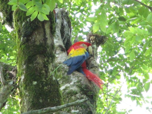 La CONANP  monitorea la guacamaya roja en comunidades de Palenque. Avistamientos muestran 5 parejas en inmediaciones del área natural protegida