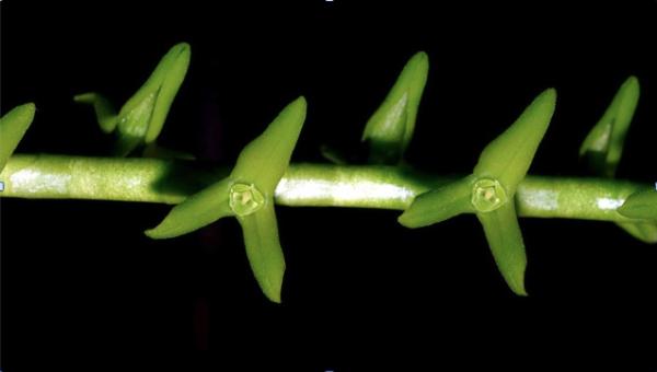 Foto: Cisco Dietz Orquídea: Stelis kaiae