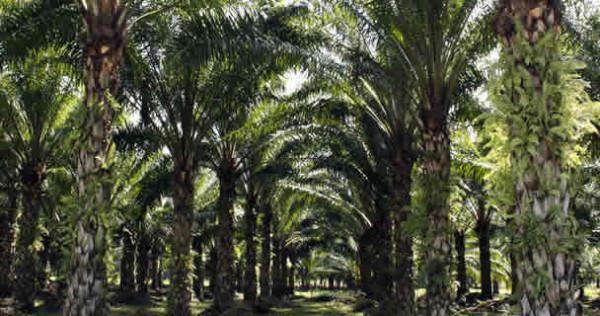 Al menos 40 mil hectáreas de tierra en Chiapas están sembradas con palma de aceite. Foto: Cortesía