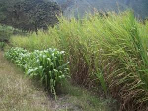 Zacate. Imagen: www.culturaempresarialganadera.org