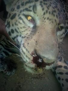Imágenes del jaguar cazado en Sacún Cubwitz, Chilón. Foto cortesía: Mario Gómez