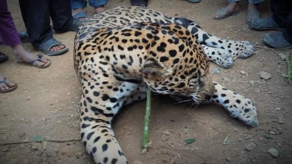 Imágenes del jaguar cazado en Sacún Cubwitz, Chilón. Fotos cortesía: Mario Gómez