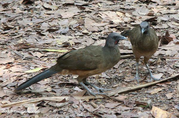 Chachalacas, afectadas por la influeza aviar en el ZooMAT. Foto: http://es.mongabay.com/