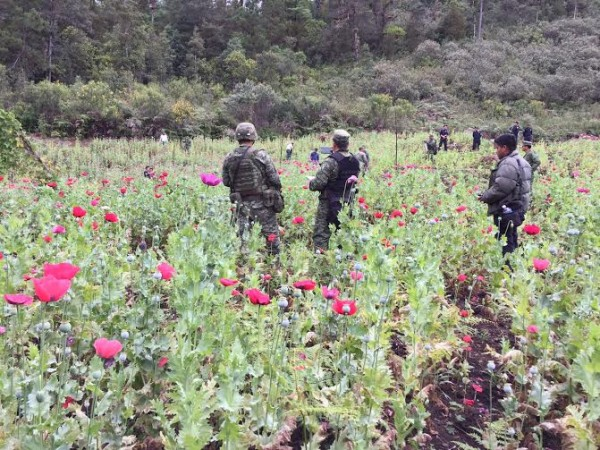 Sedena destruyó plantios de amapola en Las Margaritas. Foto: Cortesía