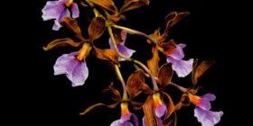 Investigadores documentan más de 700 especies de orquídeas en Chiapas