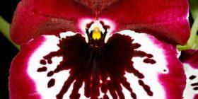 Orquideas - Amigos de las Orquideas Organización (4)