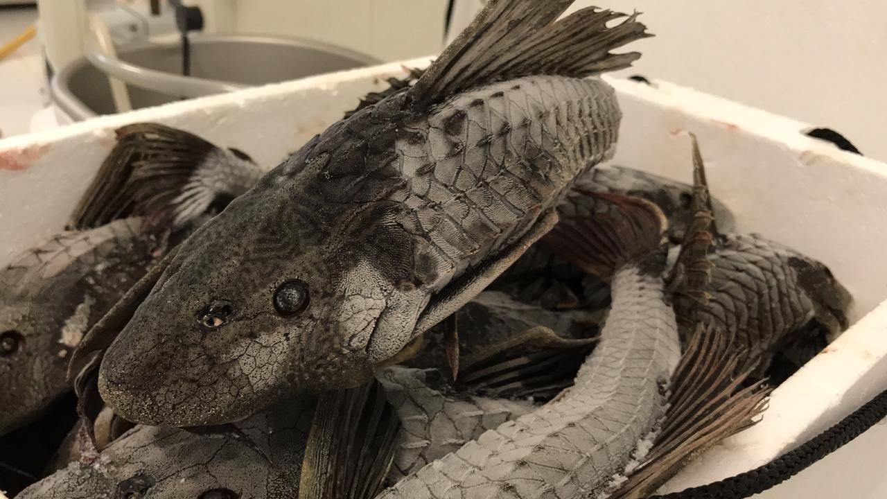Transformación molecular del pez diablo ayudaría a su comercialización