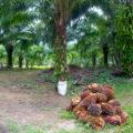 Comunidades mayas de Chiapas denuncian que la palma de aceite les arrebata el agua y las tierras