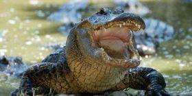 Cocodrilo en peligro de extinción falleció en el Cañón del Sumidero por ingerir plástico.  Foto: Cortesía