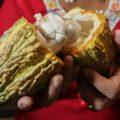 """""""Regalo de Dios"""", crea nueva variedad de cacao"""