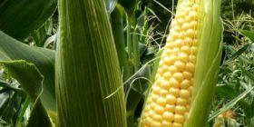 El maíz es el cultivo principal en los municipios de Socoltenango y Las rosas, después de la caña de azúcar