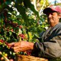 La siembra, sobre todo de café y maíz, ha disminuido debido al cambio climático. Lo que preocupa a los expertos en medio ambiente. Cortesía: Fertilab.