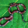 El coralillo, también llamada serpiente coral. Cortesía: Reptiles Venenosos de Chiapas - Red para Conservación y Divulgación