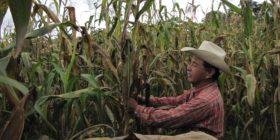 La conservación de los maíces locales asociados a las razas Tuxpeño y Olotillo se inclina hacia los productores mayores de 60 años. Cortesía: CIMMYT.