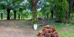 En Chiapas hay 64 000 hectáreas sembradas que representan el 70 % del total de las plantaciones de palma en México.