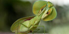Choeradodis rhombicollis es una especie de mantis religiosa nativa de América del Norte, América Central y América del Sur. Cortesía: Linden Gledhill.