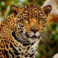 El jaguar, nombrado B'alam, era uno de los animales sagrados para los mayas que con mayor frecuencia buscaban representar en sus nombres; también los quetzales y las serpientes. Cortesía: Reino Animalia.