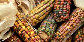 El maíz como cultivo es un sistema dinámico y continuo. Su polinización es libre, los agricultores año con año la mantienen, intercambian y experimentan con semilla propia o de otros vecinos. Cortesía: Consumidores Orgánicos.