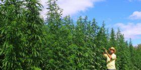Cáñamo de cannabis, la esperanza del campo mexicano, Foto: Cortesía