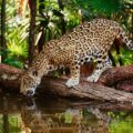 La investigadora sostuvo que existen cinco mamíferos de gran importancia para las comunidades lacandona, entre ellos el Jaguar. Cortesía: Turi México.