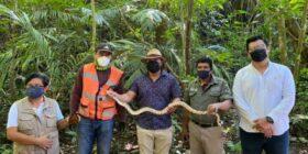 Tortuga y  Boa Constrictor, fueron halladas cerca de las áreas de trabajo del Tren Maya. Cortesía: Tren Maya Palenque
